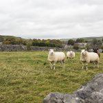 Sheep at Litton