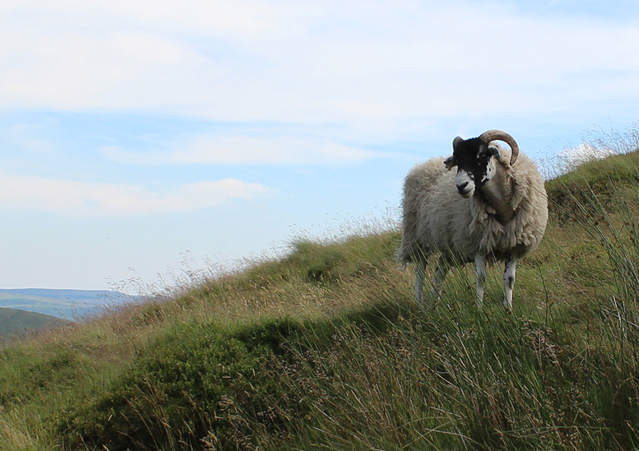 A Sheep on Grindslow Knoll