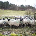Sheep being sorted by Ladybower Reservoir