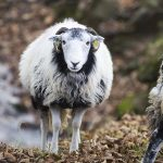 Derbyshire Gritstone Ewe at Ladybower Reservoir
