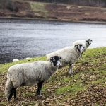 Derbyshire Gritstone Ewes at Ladybower Reservoir