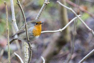 A Robin at Howden Reservoir