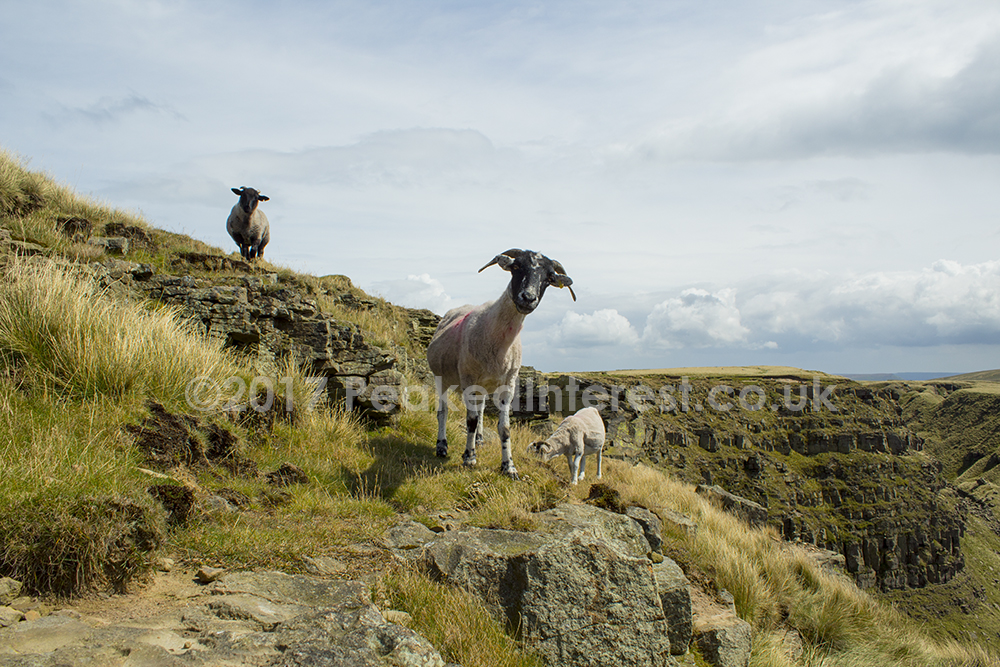 Three Amigos, sheep at Alport Castles