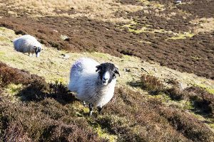 Sheep on Win Hill