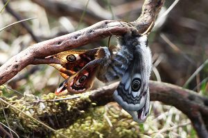 Emperor Moths Mating on Baslow Edge