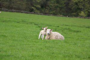 Lambs near Grindleford