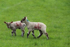 twin Lambs near Grindleford