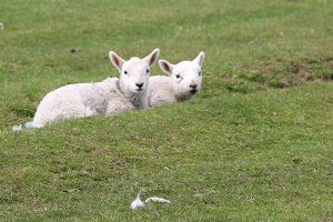 Lambs on Crook Hill