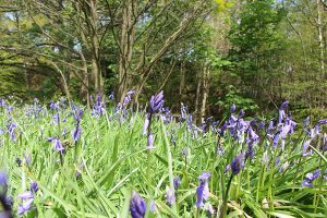 Bluebells at Dale Dike Reservoir