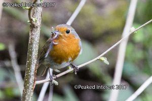 Robin Feeding Time - 9605