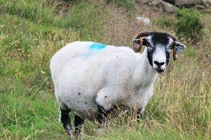 Sheep on Mam Tor