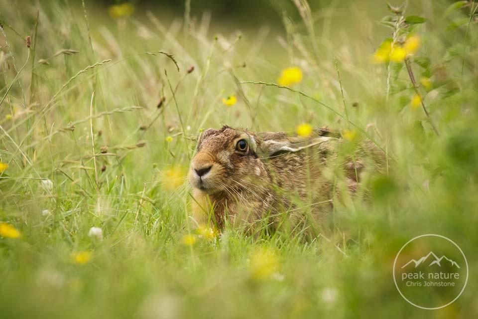 Peak Nature Hides Hare