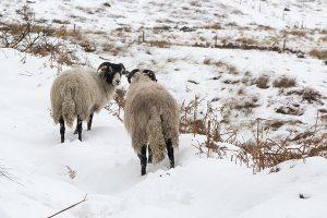 Sheep on Derwent Edge