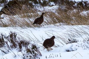 Red Grouse on Derwent Edge