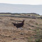 Grouse on Derwent Edge