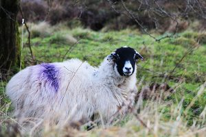 A sheep at Ladybower Reservoir