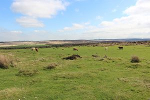 Cattle on Curbar Edge