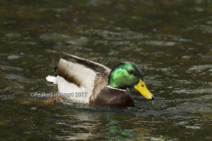 Mr A Duck of Castleton - 9602