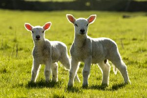 Spring Lambs - 4315