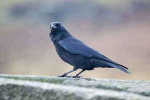 Corvid on The Broken Trough in Burbage Valley