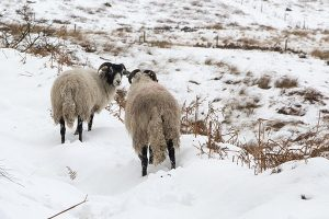 Sheep on Derwent Edge