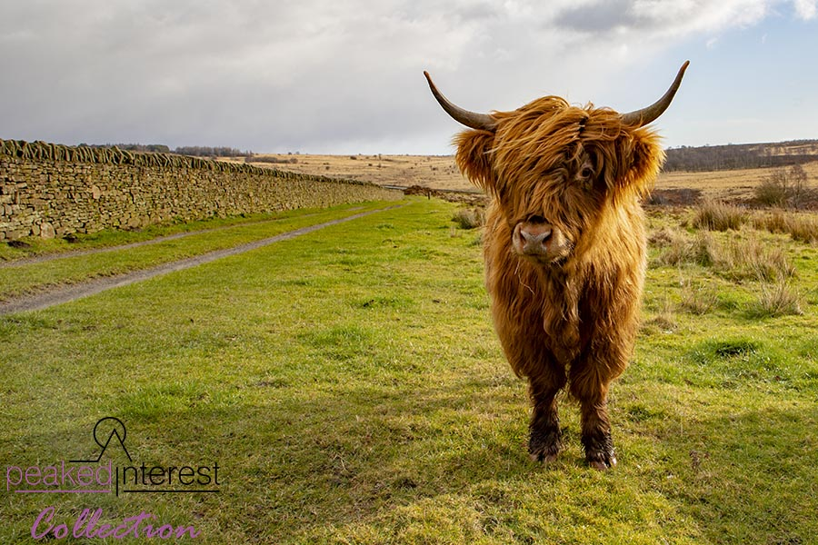 Highland Cattle on Baslow Edge