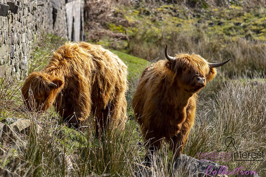 Highland Cattle on Baslow Edge The Inside Out Story